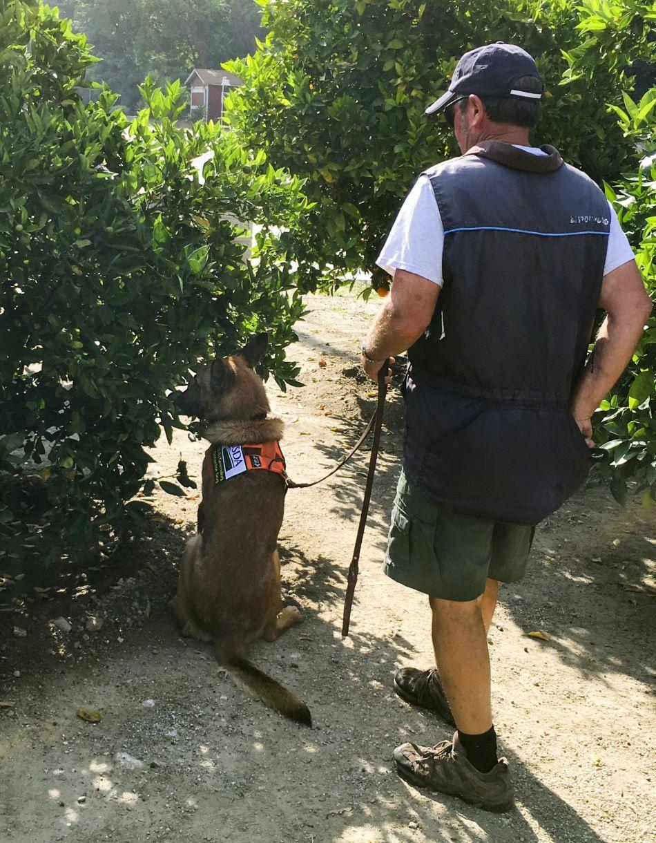 Má nebo nemá nemoc huanglongbing? Preventivní procházka se psem po plantáži, foto Timothy R. Gottwald, ARS-USDA.
