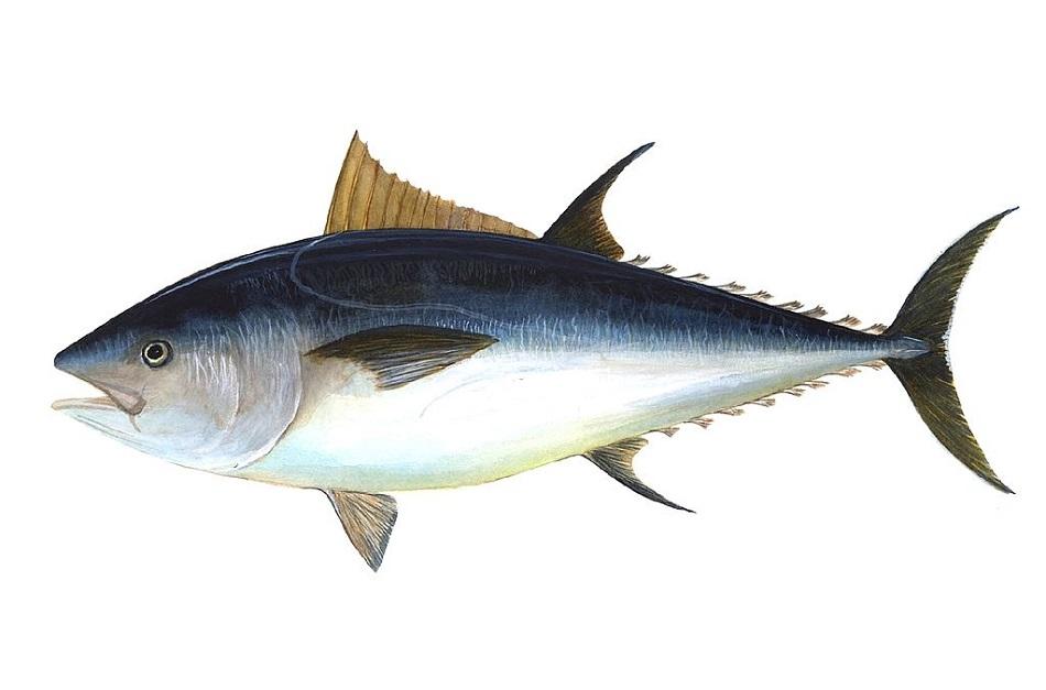 Tuňák obecný (Thunnus thynnus) z čeledi makrelovitých (U.S.NOAA via Wikimedia Commons).