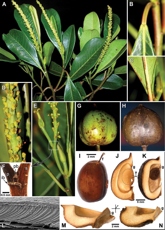 Detaily nově objeveného stromu Incadendron esseri, L značí mikroskopický řez slupkou semene, K a N jsou pro srovnání řezy plodem podobného stromu Senefelderopsis ze stejné čeledi, který roste na Guyanské vysočině (obr. PhytoKeys 85: 69-86 (31 Aug 2017) https://doi.org/10.3897/phytokeys.85.14757)