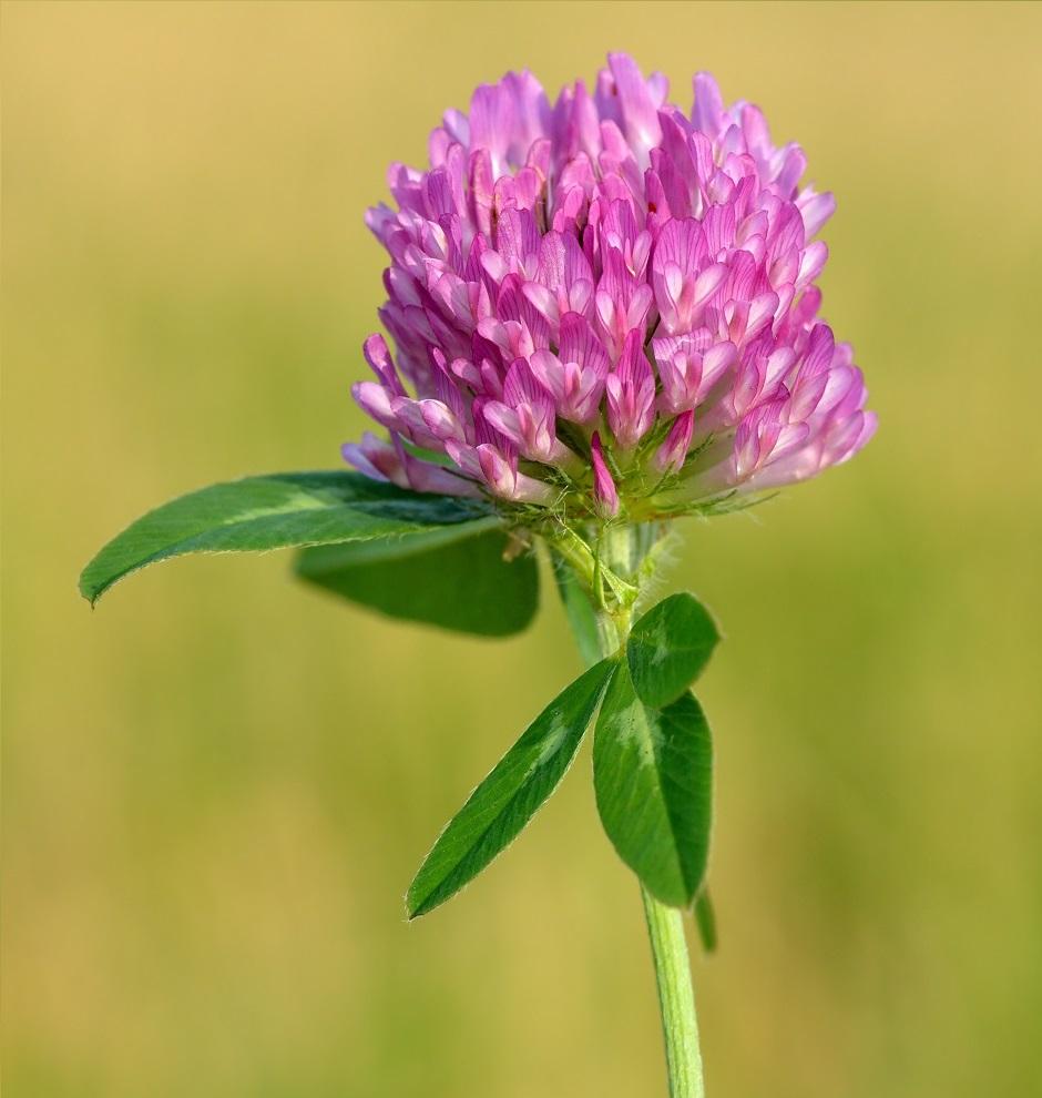 Květ jetele lučního  (Trifolium pratense)  z čeledi boboviých, Ivar Leidus [CC BY-SA 4.0 (https://creativecommons.org/licenses/by-sa/4.0)].