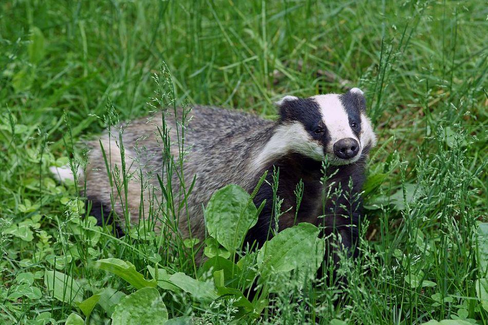 Jezevec evropský (Meles meles, angl. Europaen badger), jeden z vysledovaných živočichů, kallerna/CC BY-SA (https://creativecommons.org/licenses/by-sa/3.0).