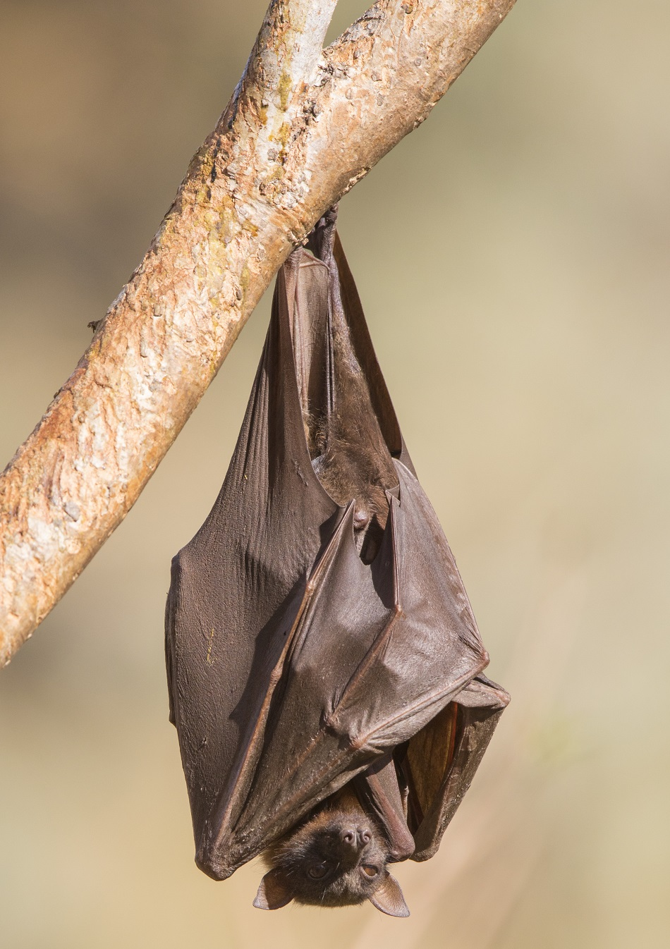 Dospělý kaloň vábivý Pteropus alecto váží kolem 710 g, foto Andreas Trepte/CC BY-SA (https://creativecommons.org/licenses/by-sa/4.0).