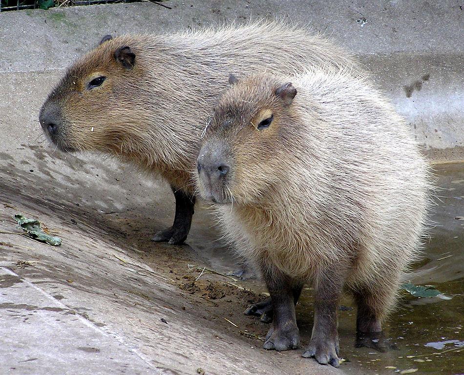 Jihoamerická kapybara (Hydrochoerus hydrochaeris, angl. capybara) ze skupiny Caviomorpha  je největší  současný  žijící hlodavec dorůstající až 80 kg, foto Arpingstone/Public domain.