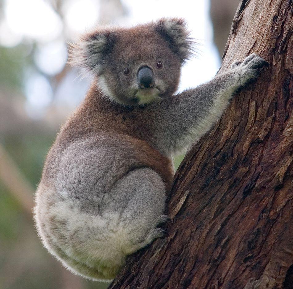 Koala medvídkovitý (angl.koala, Phascolarctos cinereus), jedno ze zvířátek, kterému na dálku měřili tep a dechovou frekvenci, foto Diliff/CC BY-SA (https://creativecommons.org/licenses/by-sa/3.0).