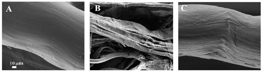 Zub poutající kolagenové vlákno před působením kolagenázy (A), během působení (B) a po regeneraci (C) na snímku elektronového mikroskopu, A.Zinger et al., Proteolytic Nanoparticles Replace a Surgical Blade by Controllably Remodeling the Oral Connective Tissue, ACS Nano 2018, 12, 1482-1490.