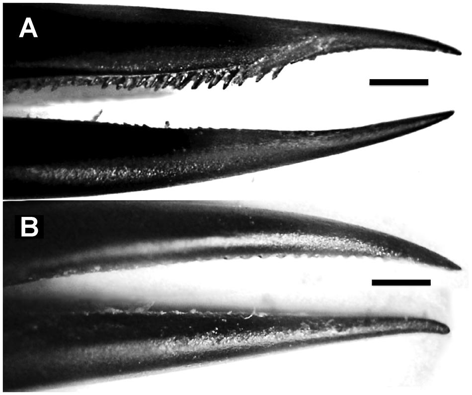 Zobák jihoamerického kolibříka modrolícího (Colibri coruscans). Úsečka je 1 mm dlouhá. Zobák samečka (A) nahoře je ostřejší a má zpět zahnuté výstupky v porovnání se samičím zobáčkem (B) dole, foto  A.Rico-Guevara et al., Shifting Paradigms in the Mechanics of Nectar Extraction and Hummingbird Bill Morphology, Integrative Organismal Biology, Volume 1, Issue 1, 1 January 2019.