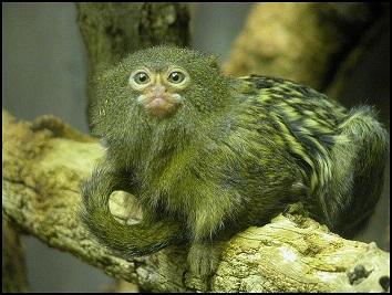 kosman zakrslý (Callithrix pygmaea), převzato z wikipedia.org pod licencí Creative Commons 2, foto Wilfried Berns