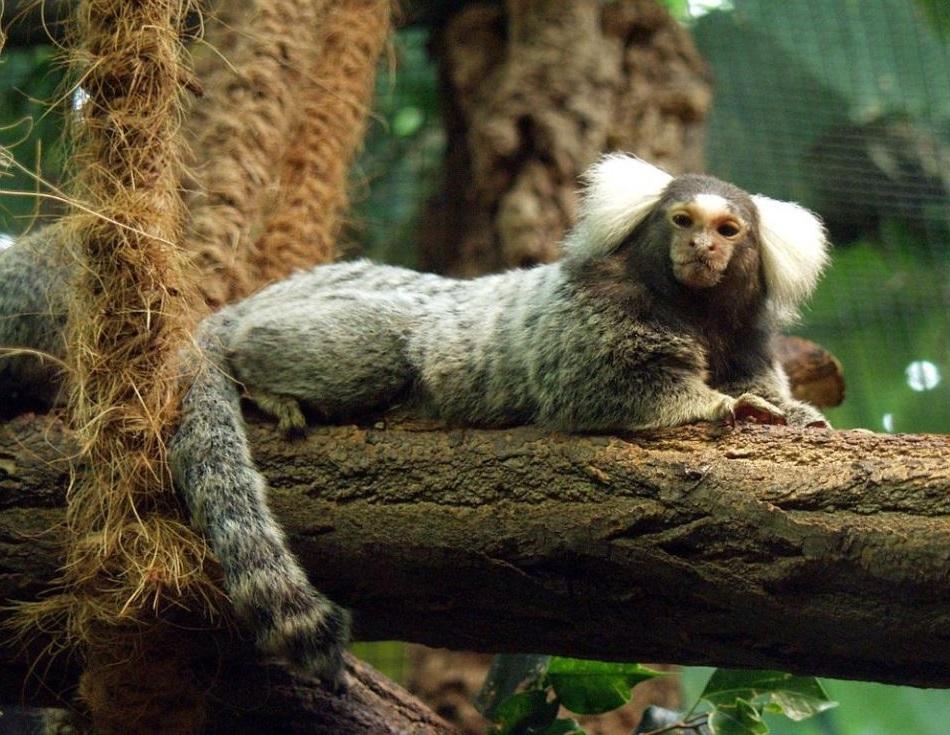 Kosman bělovousý (Callithrix jacchus, angl.common marmoset), malý ploskonosý primát Nového světa, velký zhruba jako U.perdita, která překročila Atlantik, foto Raimond Spekking.
