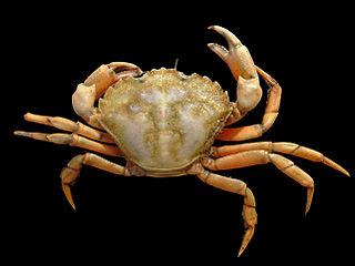 krab obecný Carcinus maenas z belgického pobřeží, šířka krunýře 6,2 cm, © Hans Hillewaert, 28.9.2005, via wikipedia