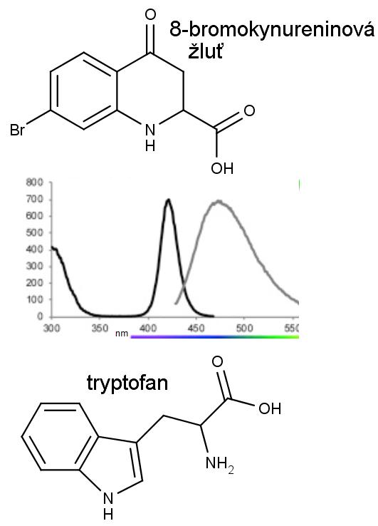 Nahoře chemická struktur 8-bromkynureninové žluti, dole aminokyseliny tryptofanu. Excitační a emisní spektrum fluorescene 8-bromkynureninové žlutí je uprostřed, H.-B.Park et al., Bright Green Biofluorescence in Sharks Derives from Bromo-Kynurenine Metabolism, iScience, 1 - 10, 2019. V levé části spektra vidíme modré světlo, které 8-bromokynureninová žluť pohlcuje, čímž získá energii, kterou vyzáří fluorescencí jako zelené světlo na spektru vpravo.