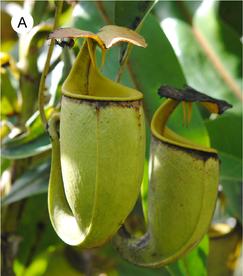 láčky láčkovky Nepenthes bicalcarata, obr.PLOSONE