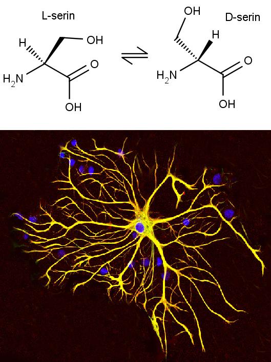 Nahoře chemická struktura L a D serinu, dole mikroskopický snímek astrocytů v buněčné kultuře, GerryShaw/CC BY-SA (https://creativecommons.org/licenses/by-sa/3.0).