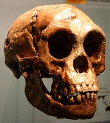 Fotografie odlitku lebky LB1 člověka floreského z newyorského Amerického přírodovědného muzea, foto Ryan Somma, Creative Commons Attribution-Share Alike 2.0 Generic.