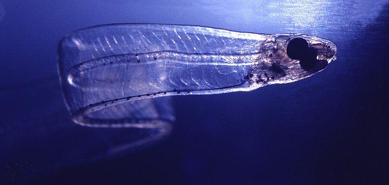 7,6 cm dlouhá larva úhoře leptocephalus, Wikimedia Commons, GNU Free Documentation License