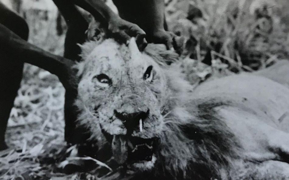 """Fotografie uloveného lva z roku 1965. V levé nozdře vidíme zaseknutou zlomenou dikobrazí bodlinu o délce 16 cm, což muselo velice bolet, foto Kerbis  Peterhans,  J.C.  &  T.P.  Gnoske  (2001).  The  science  of  """"man  eating""""  among  lions  Panthera  leo  with  a  reconstruction  of  the  natural  history  of  the  Man-eaters  of  Tsavo.  Journal of East African Natural History90: 1–40."""