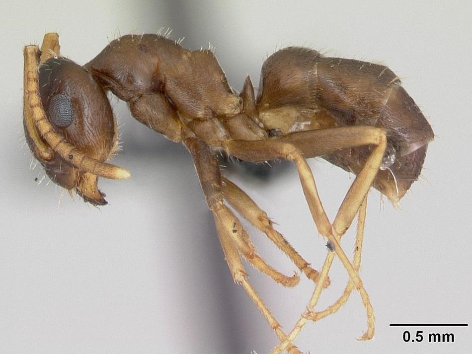 Dělnice mravence Lasius neglectus (foto April Nobile/AntWeb.org, via Wikimedia Commons).