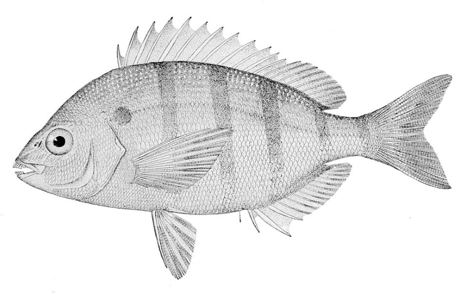 Mořan hejnový (Lagodon rhomboides, angl. pinfish), oblíbená potrava Calusanů, je jediným druhem rodu Lagodon (mořanovití), public domain, Bulletin of the United States Fish Commission, 1910, https://en.wikipedia.org/wiki/File:Lagodon_rhomboides.jpg.