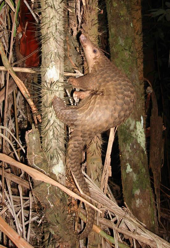 Může za všechno luskoun ostrovní (Manis javanica, angl. Malayan pangolin)? Foto Piekfrosch/CC BY-SA (http://creativecommons.org/licenses/by-sa/3.0/).