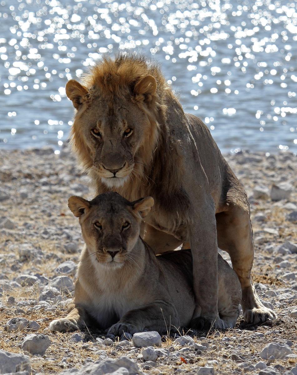 Kopulující lvi v pánvi Etosha v Namibii, 2016, foto Vaclav Ourednik.