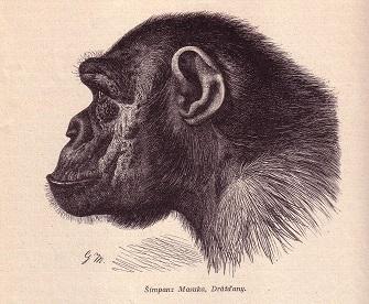 portrét šimpanze Masuky z Drážďanské zoo, rytina převzata z Brehmova života zvířat, díl IV. část 4, vydáno Nakladatelstvím J.Otto, společnost s r.o. v Praze, 1928.