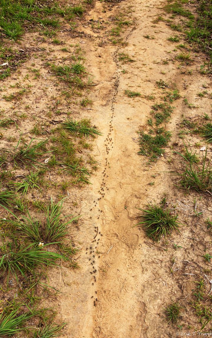 Lovecká výprava mravenců M.analis na optimální cestě, foto Erik Frank.