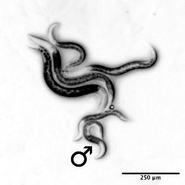 Hlístice (Nematoda) Mesorhabditis belari, pět samiček a jeden samec.