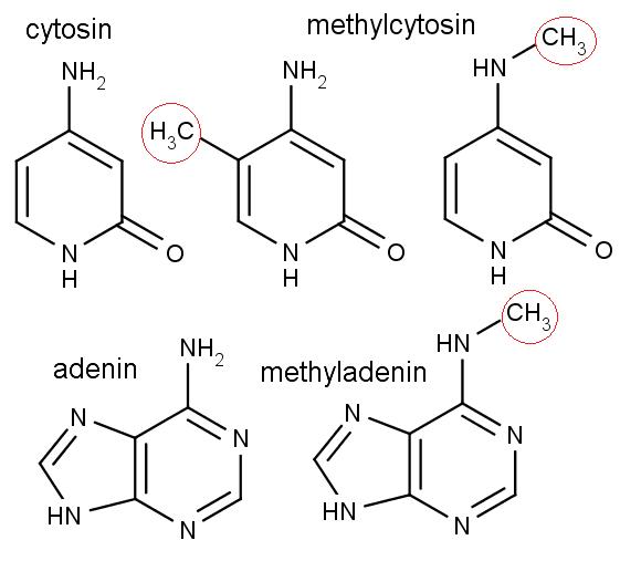 Chemická struktura cytosinu, methylcytosinu, adeninu a methyladeninu. Červenými oválky jsou vyznačeny připojované methylové skupiny.