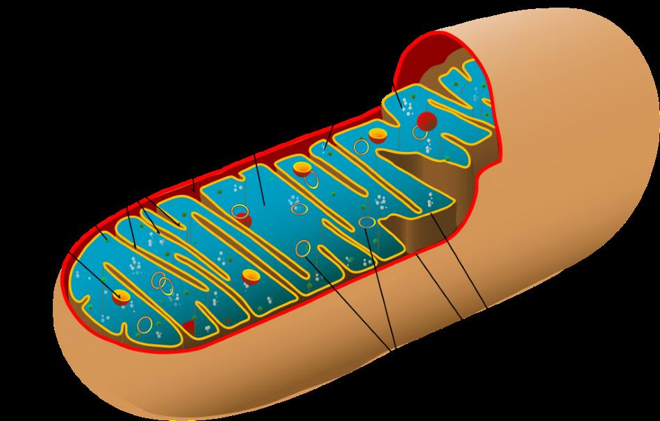 Schematický nákres řezu buněčnou organelou mitochondrií, LadyofHats/Public domain.