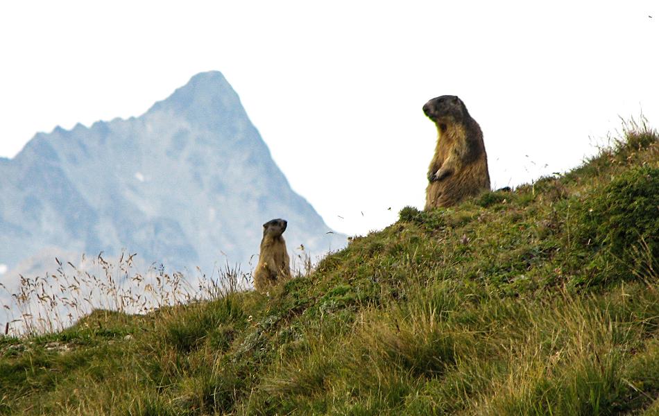 Svišť horský (Marmota Marmota), foto Vaclav Ourednik, Alpine Astrovillage.