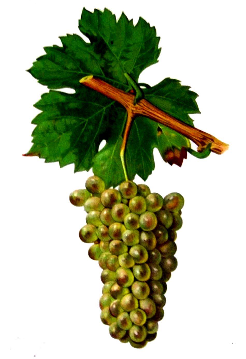 Hrozny odrůdy Mondeuse Blanche, Viala et Vermorel [Public domain].