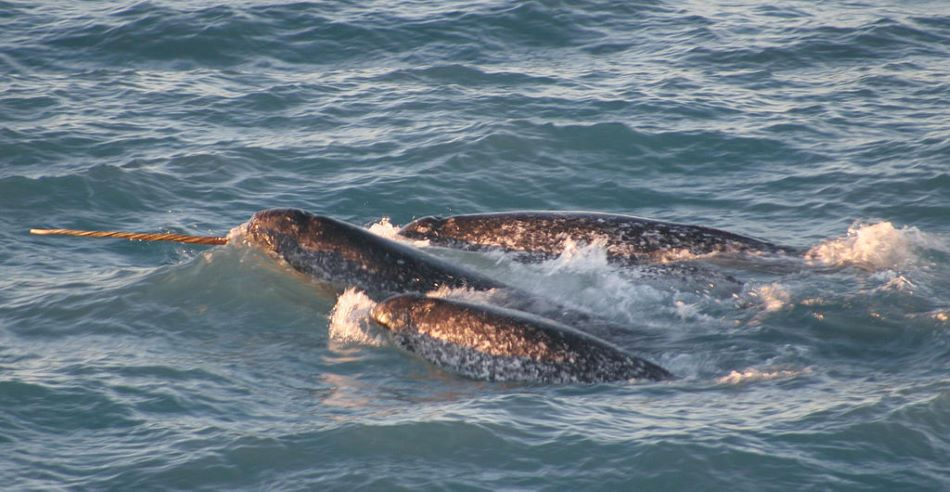 Narvalové v moři, Dr. Kristin Laidre, Polar Science Center, UW NOAA/OAR/OER/Public domain, https://commons.wikimedia.org/wiki/File:Pod_Monodon_monoceros.jpg .