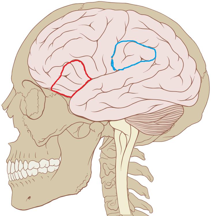 Červeně je vyznačen vnitřní čelní závit (gyrus frontalis inferior, angl. inferior frontal gyrus), modře vnitřní temenní lalok (lobulus parietalis inferior, angl.inferior parietal lobule), upraveno podle Patrick J. Lynch, medical illustrator [CC BY 2.5 (https://creativecommons.org/licenses/by/2.5)].