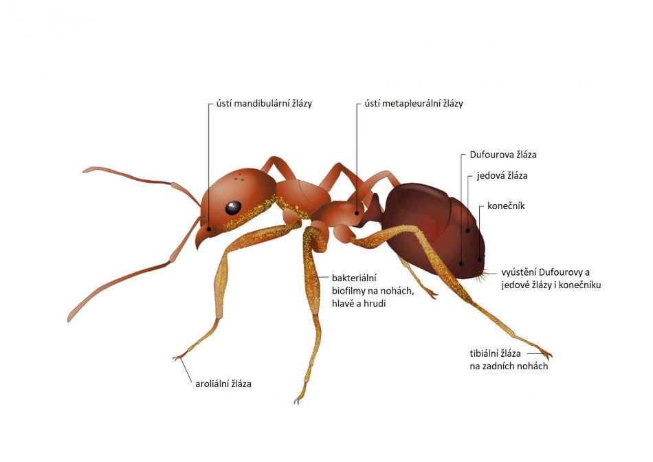 Žlázy mravence, které vylučují antibiotika. Žluté tečkování vyznačuje bakteriální film pokrývající mravenčí tělo, který rovněž produkuje antibiotika, obr. Tinna Christensen.