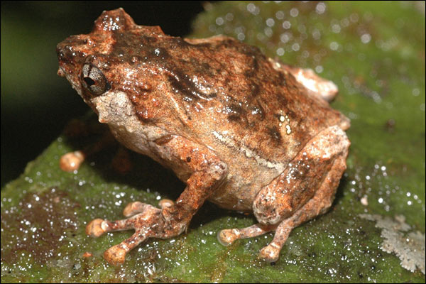 Snímek jednoho z nových druhů. Zkoumaná oblast je zřejmě hlavně žabím rájem. Foto Stephen Richards.