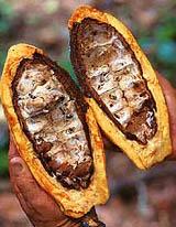 Rozpůlený plod kakaovníku Theobroma cacao. Kakaové boby uvnitř plodu jsou hlavní surovinou pro výrobu čokolády.