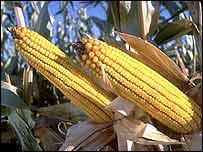 Geneticky modifikovaná kukuřice MON810 společnosti Monsanto.