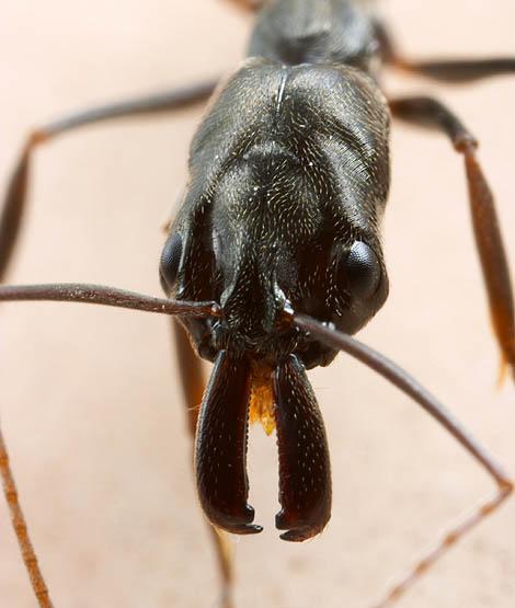 Kusadla mravence Odontomachus bauri z Kostariky (foto Alex Wild).