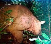 obtížně rozeznatelný Dicerorhinus sumatrensis harrissoni