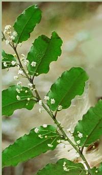 Amborella trichopoda je vysoká asi 50 cm, její listy dosahují délky 8 až 10 cm.