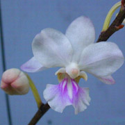 orchidea Holcoglossum amesianum (foto Jay Pfahl)