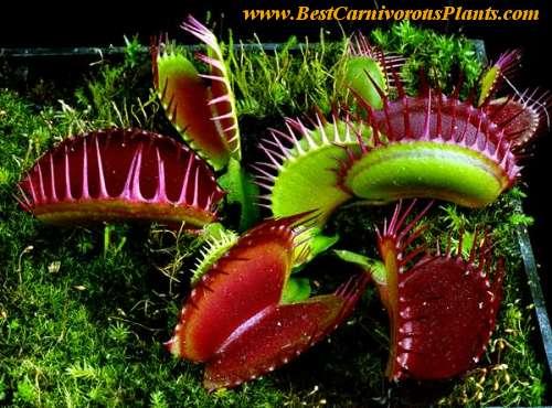 Tyto listy dokáže Dionaea muscipula sevřít během 100 ms