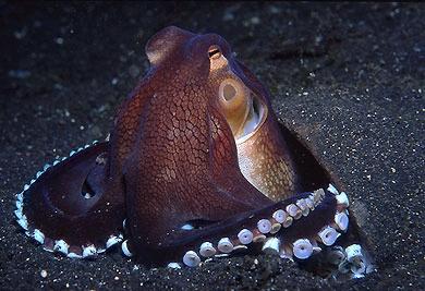Octopus marginatus - její tělo je dlouhé 8 cm
