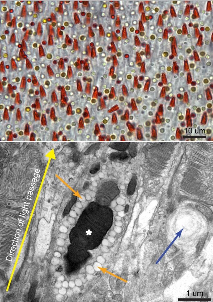 Nahoře mikroskopický snímek části sítnice tyranovce zelenavého. Barevné kroužky jsou olejové kapičky standardních ptačích čípků, temně oranžové jehlany jsou tukovými kapičkami obklopené mitochondrie nových fotoreceptorů.  Jeho detail v elektronovém mikroskopu je na obrázku dole. Žlutá šipka označuje směr dopadajícího světla,  oranžové směřují k okolním kapičkám, modrá šipka označuje standardní tukovou kapku přilehlého běžného čípku, um značí mikrometr, upraveno podle Tyrrell, L.P., Teixeira, L.B.C., Dubielzig, R.R. et al. A novel cellular structure in the retina of insectivorous birds. Sci Rep 9, 15230 (2019) doi:10.1038/s41598-019-51774-w, CC BY 4.0, https://creativecommons.org/licenses/by/4.0/.