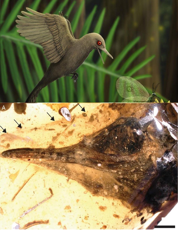 Nahoře nejmenší druhohorní ještěr Oculudentavis khaungraae na lovu, obr.HAN Zhixin, dole fotografie jeho fosilizované hlavy v 99 milionů let starém barmském jantaru. Černá úsečka je 2 mm dlouhá, foto Xing, L. et al. Hummingbird-sized dinosaur from the Cretaceous period of Myanmar, Nature 579, 245–249 (2020).
