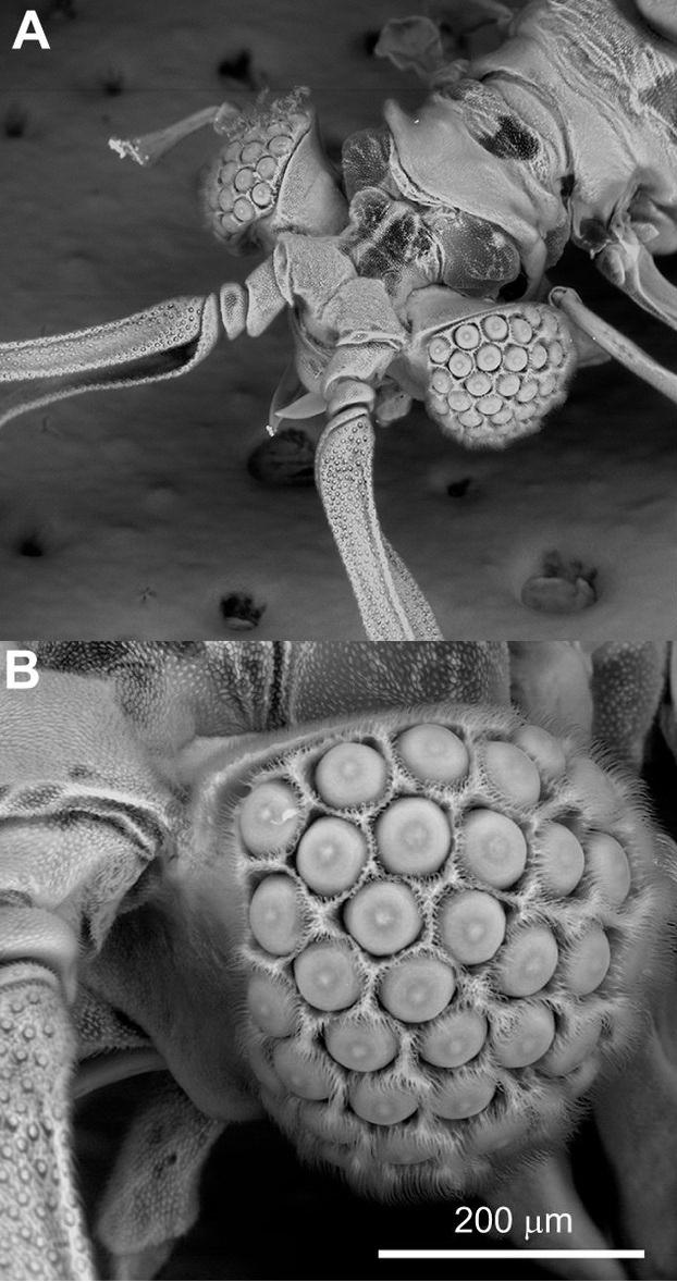 Zvláštní oko hmyzího druhu Xenos peckii. A je hlava samečka, B detail jeho oka,  M. James et al., The unusual eyes of Xenos peckii (Strepsiptera: Xenidae) have green- and UV-sensitive photoreceptors, Journal of Experimental Biology 2016 219: 3866-3874