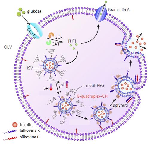 Schéma fungování umělé beta buňky, upraveno podle Z.Chen et al., Synthetic beta cells for fusion-mediated dynamic insulin secretion, Nature Chemical Biology, volume 14, pages 86–93 (2018).