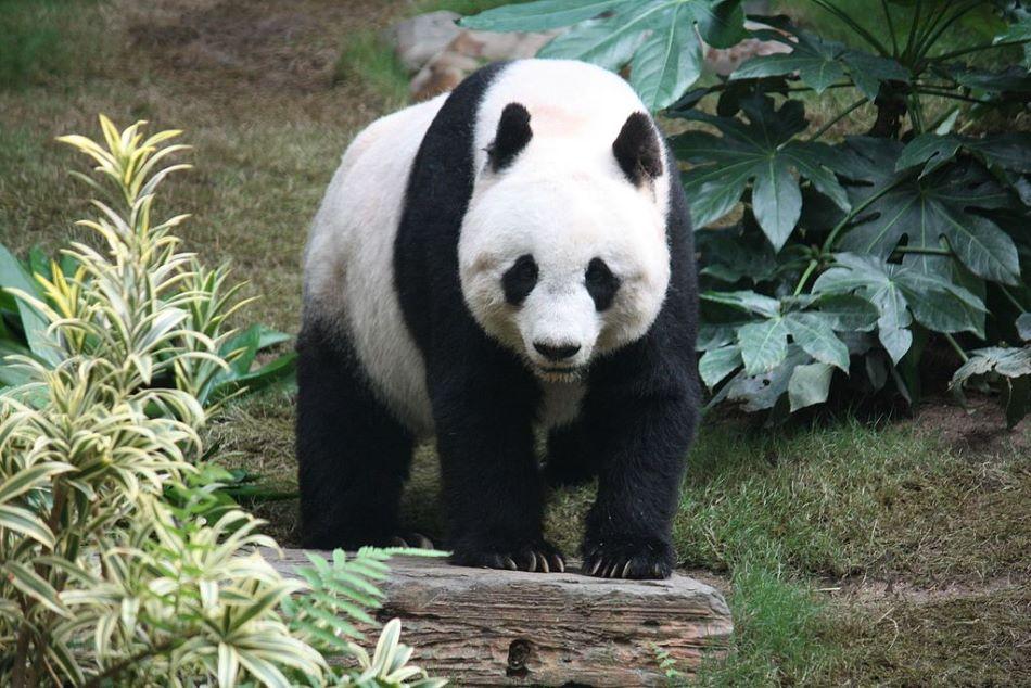 Panda velká, předmět čínské pandí diplomacie, foto J. Patrick Fischer / CC BY-SA (https://creativecommons.org/licenses/by-sa/3.0).