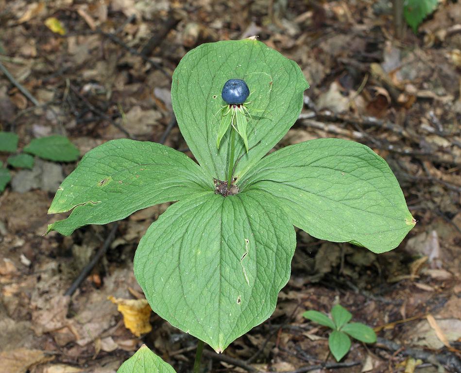 Vrání oko čtyřlisté (Paris quadrifolia), vytrvalá jedovatá bylina z čeledi kýchavcovitých (Melanthiaceae) dorůstá až 40 cm. Nacházíme ji  ve vlhčích listnatých a smíšených lesích mírného pásu Eurasie. Jde o velmi jedovatou rostlinu, byť otravy jsou řídké, protože bobule nepříjemně zapáchá i chutná, foto George Chernilevsky/Public domain.