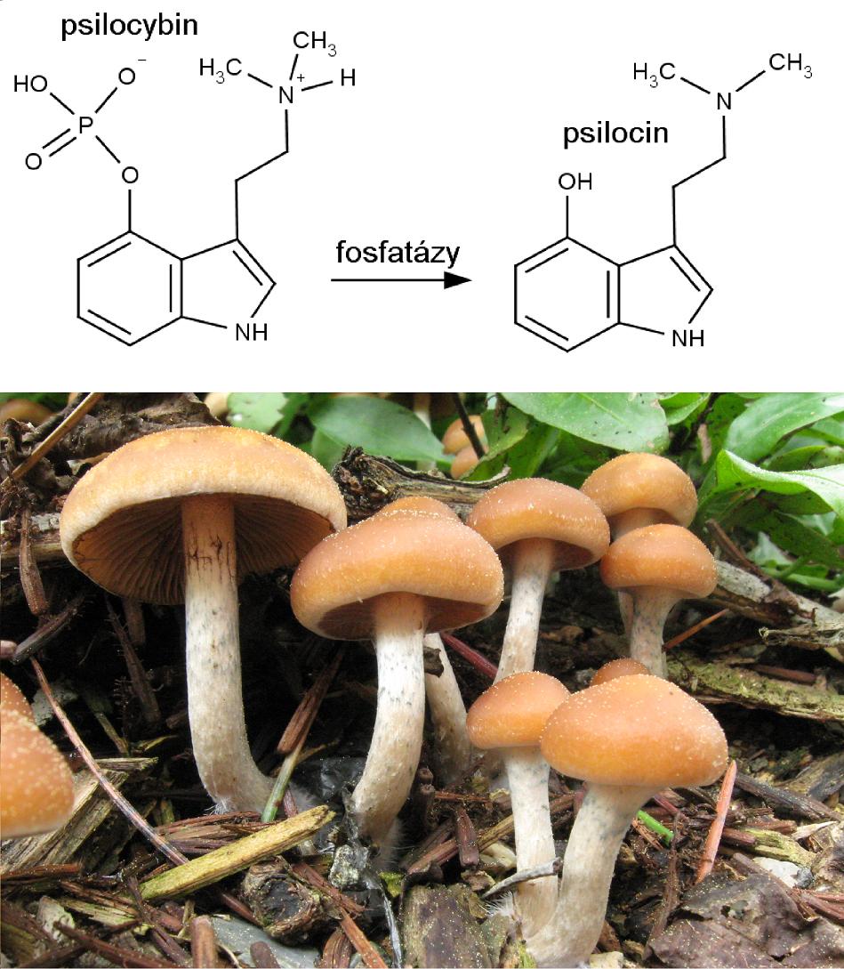 Vlevo nahoře struktura psilocybinu, vpravo nahoře psilocinu. Dole lysohlávka Allenova (Psilocybe allenii) na snímku Alana Rockefellera/Mushroom Observer, CC BY-SA 3.0, https://commons.wikimedia.org/w/index.php?curid=8361058.