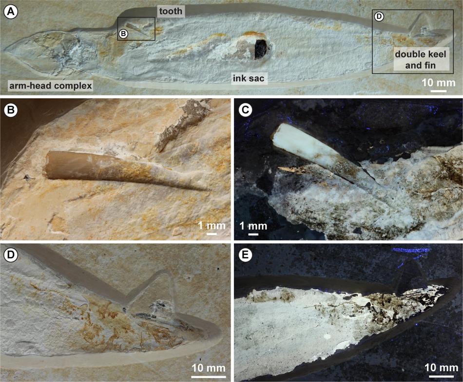 (A) zkamenělina hlavonožce Plesioteuthis subovata v solnhofenském vápenci s vylomeným zubem ptakoještěra Rhamphorhynchus muensteri (tooth), arm-head complex = hlava a ramena, ink sac = inkoustová žláza, double keel and fin = ploutve, (B), (C) detaily zubu, (D), (E) detaily špičky zubu, CC BY 4.0, https://creativecommons.org/licenses/by/4.0/, Hoffmann, R., Bestwick, J., Berndt, G. et al. Pterosaurs ate soft-bodied cephalopods (Coleoidea), Sci Rep 10, 1230 (2020).